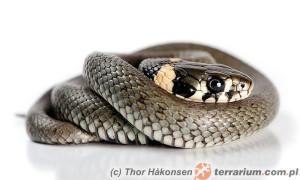 Natrix natrix – zaskroniec zwyczajny