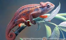 Trioceros rudis – kameleon