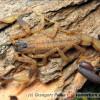 Luchas mucronatus
