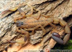 Skorpiony – początki hodowli – wybór gatunku
