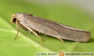 Achroia grisella – barciak mniejszy