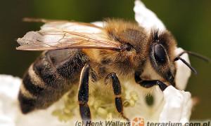 Apis mellifera – pszczoła miodna