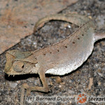 Brookesia therezieni