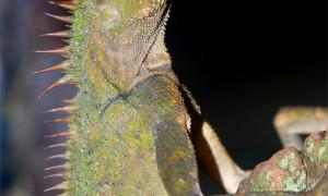 Acanthosaura armata