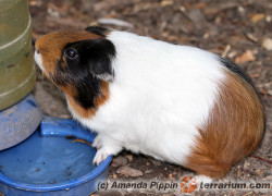 Cavia porcellus – kawia domowa, świnka morska*