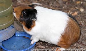 Kawia domowa [świnka morska] (Cavia porcellus) – hodowla karmowa