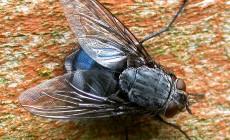 Diptera – muchówki