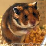 Mesocricetus auratus – chomik syryjski