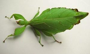Phyllium jacobsoni – liściec strzałkowy*