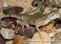 Phrynocephalus maculatus – krągłogłówka plamista