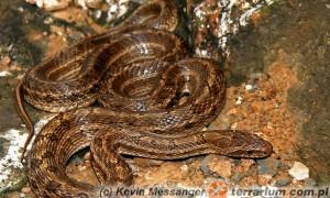 Utrzymywanie młodych węży z rodziny Colubridae