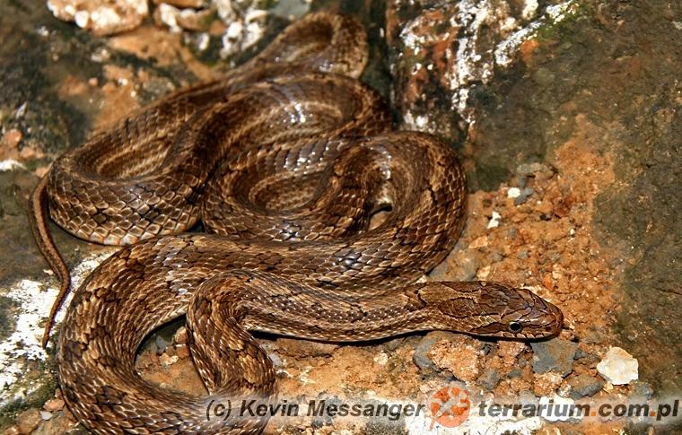 Elaphe dione - wąż diony