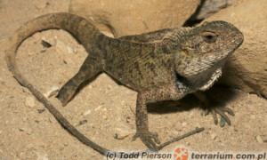 Calotes versicolor – agama ogrodowa