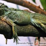 Hydrosaurus pustulatus – filipińska agama żaglowa*