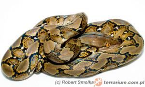 Python reticulatus – pyton siatkowany