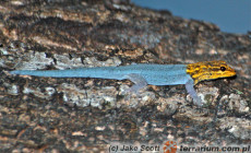Lygodactylus luteopicturatus – gekon żółtogłowy