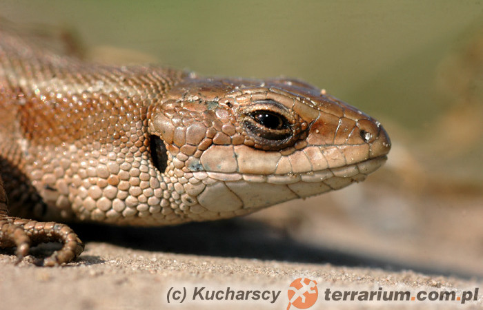Zootoca (Lacerta) vivipara – jaszczurka żyworodna