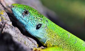Lacerta viridis – jaszczurka zielona