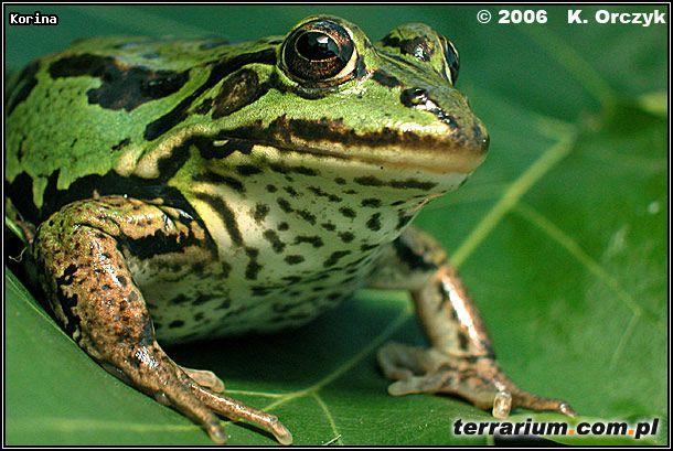 Rana esculenta – żaba wodna