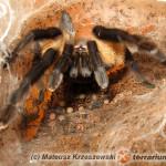 Monocentropus balfouri – raport rozmnożeniowy