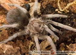 Sphaerobothria hoffmanni