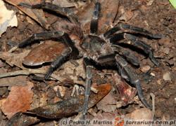Proshapalopus multicuspidatus