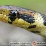 Zamenis longissimus – wąż Eskulapa