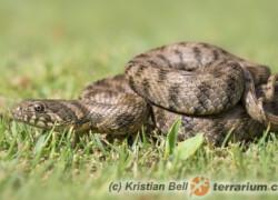 Natrix maura – zaskroniec żmijowy