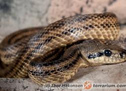 Elaphe quatuorlineata – wąż czteropasiasty