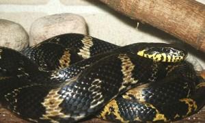 Elaphe schrenckii – wąż amurski