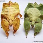 Phyllium bioculatum var. pulchrifolium – liściec dwuoki