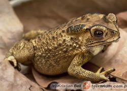 Duttaphrynus melanostictus – ropucha azjatycka