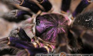 Phormictopus nesioters
