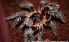 Phrixotrichus scrofa