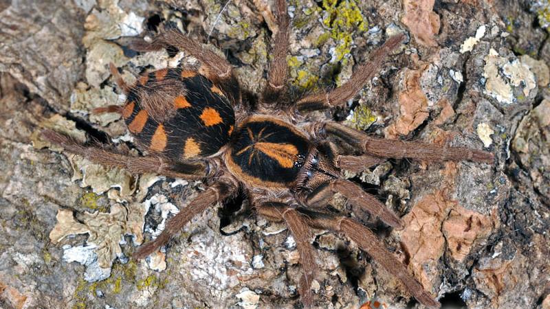 Hapalopus triseriatus