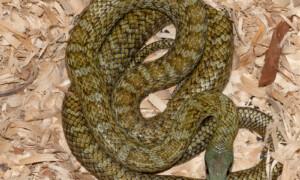 Elaphe climacophora – wąż japoński, połoz japoński