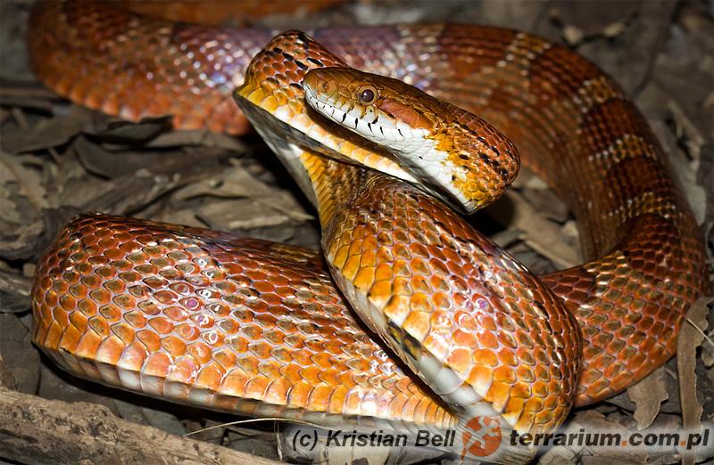 Pantherophis guttatus - wąż zbożowy