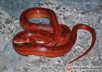 Pantherophis guttatus guttatus - wąż zbożowy