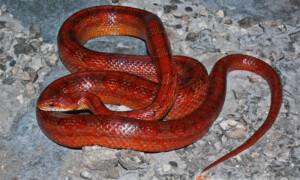 Pantherophis guttatus – wąż zbożowy