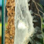 Avicularia minatrix – raport rozmnożeniowy