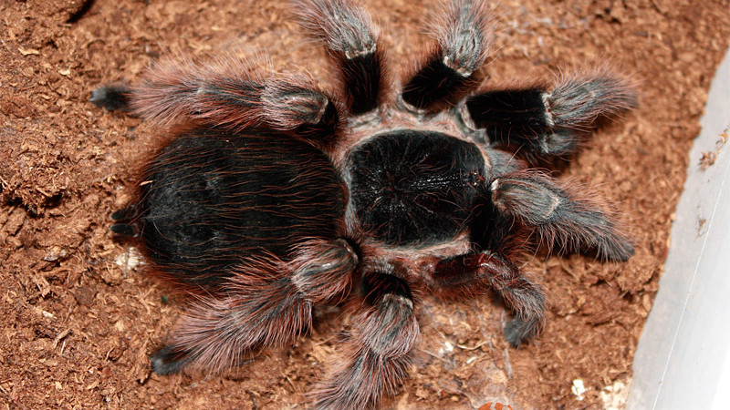 Acanthoscurria natalensis