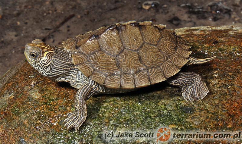 Graptemys pseudogeographica - żółw ostrogrzbiety