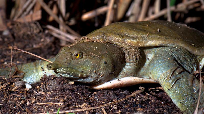 Trionychidae – żółwiaki, żółwie trójpazurzaste