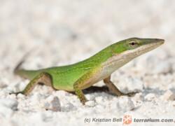 Anolis carolinensis – anolis zielony