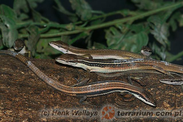 Takydromus sexlineatus – jaszczurka długoogonowa