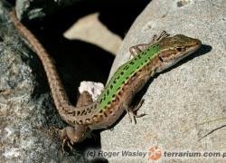 Podarcis sicula – jaszczurka sycylijska, jaszczurka ruinowa