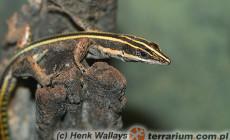 Holaspis guentheri – jaszczurka tęczowa, jaszczurka zrosłożebrowa