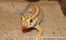 Teratoscincus scincus – gekon scynkowy