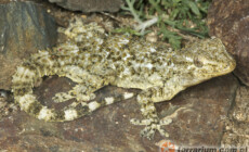 Tarentola mauritanica – gekon murowy