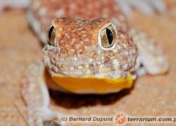 Ptenopus garrulus – gekon szczekający